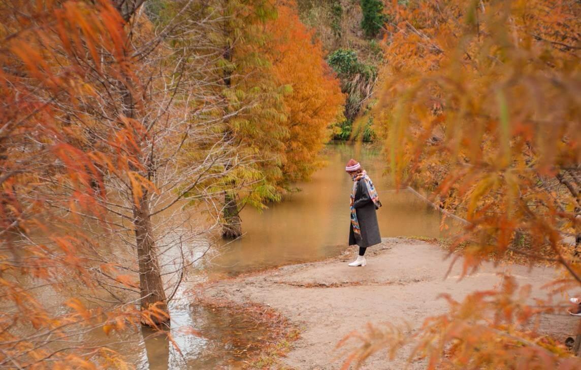 三灣落羽松莊園秘境2021。交通路線、時間、停車懶人包|苗栗水漾落羽松