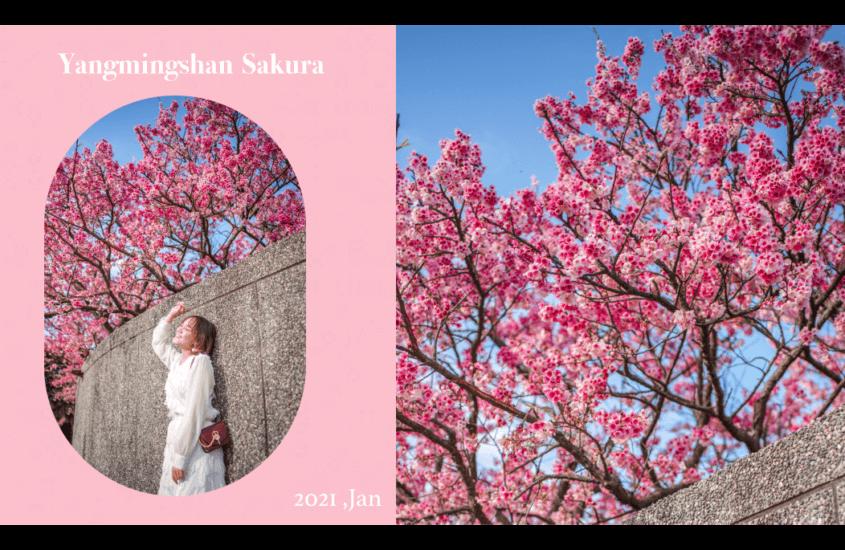 陽明山櫻花2021 台北櫻花。平菁街櫻花。花期、交通停車資訊、拍照懶人包