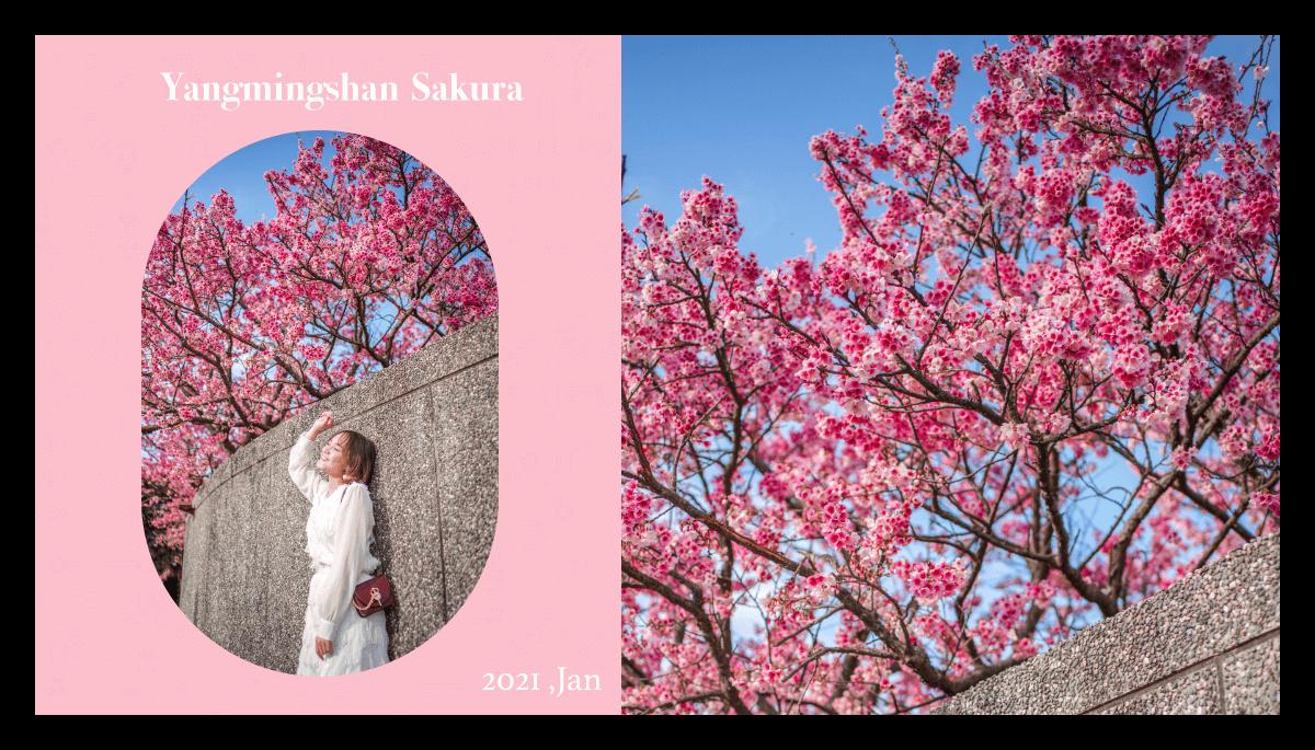 陽明山櫻花2021|台北櫻花。平菁街櫻花。花期、交通停車資訊、拍照懶人包