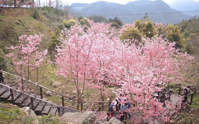 阿里山櫻花季2021|阿里山櫻花現況如何?阿里山天氣、小火車、住宿、六大賞櫻景點攻略